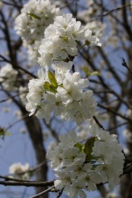 Blosso Cherry