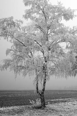 Wit Tree