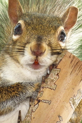 Squirrel Portrait.