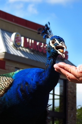 Peacock In Burger King, Apopka, Fl.