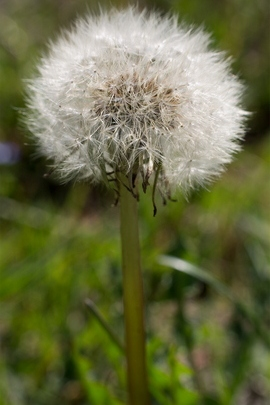 Dandelion Bol