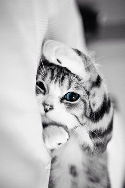 Blue Eyed Kitty Cat