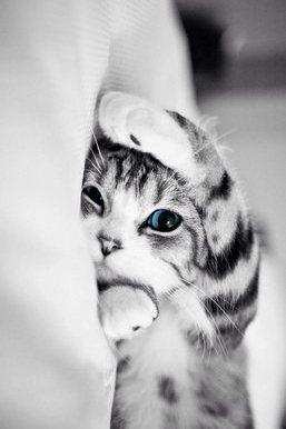 Gatto dagli occhi azzurri