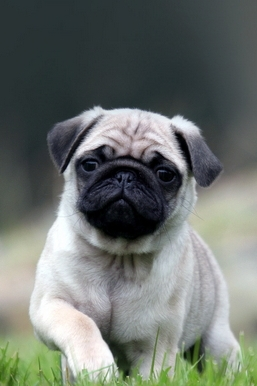Cute Pug Dog Walking On The Grass