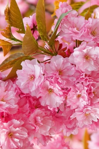 Beautiful Pink Japanese Sakura Tree