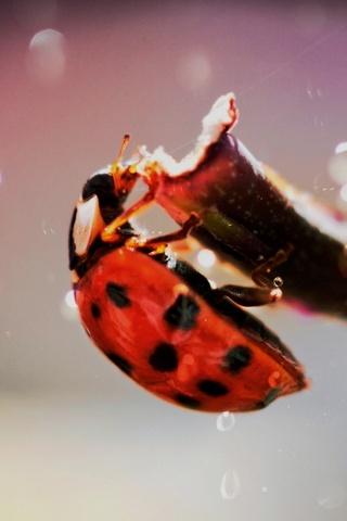 Lady Bug Macro