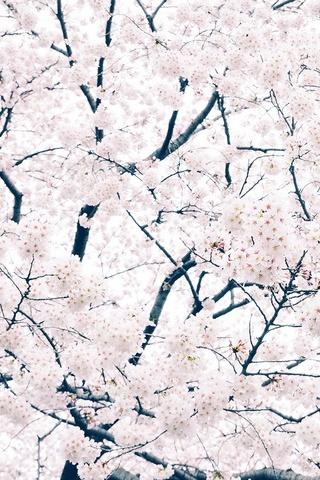Sakura Cherry Spring