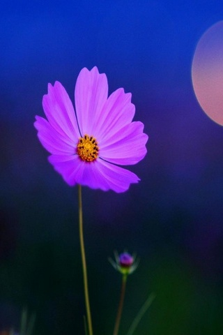 Lila Blütenblätter