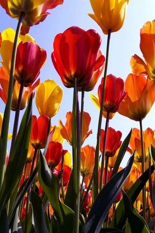 Tulpen Felder