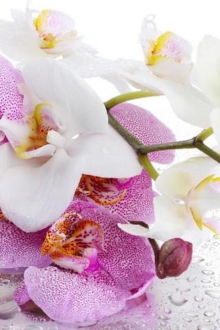 Płatki orchidei