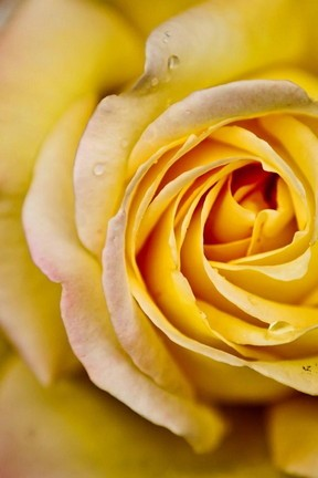 Beautiful Big Yellow Rose