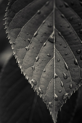 Macro de folha cinza