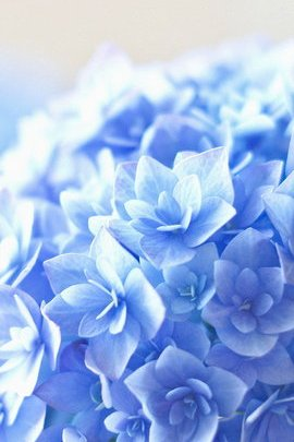 IPhone6 Blue Flower