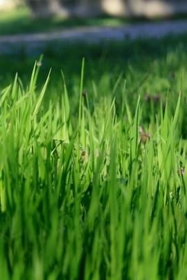 Nature Green Grassland I