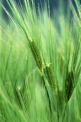 Wheat Macro I