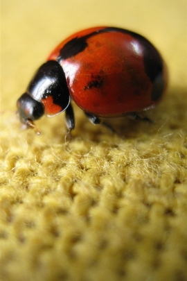 Ladybird On Flax
