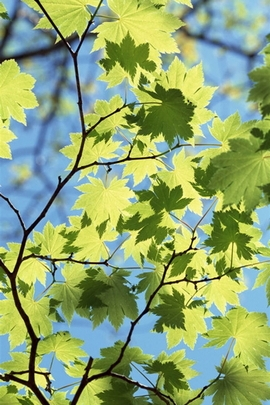 Maple Leaves Under Sunlight