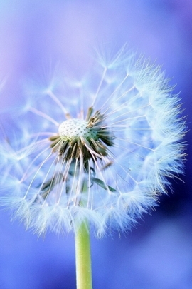 Lovely Dandelion