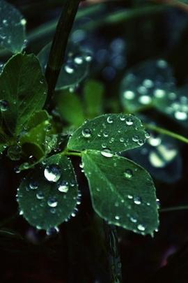 Dark Leaf Dew Macro