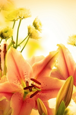 Elegant Orange Lily