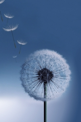 Flying Dandelion Macro