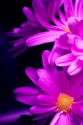Pink Daisy I
