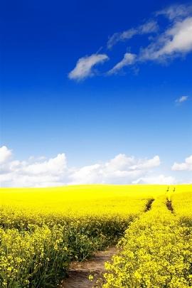 Blue Sky Canola Flower Garden