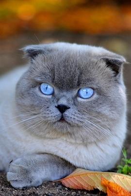 Kucing biru mata