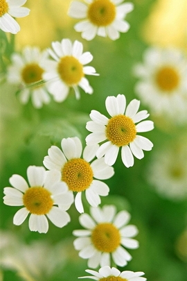 Nature White Daisy Flower