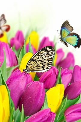 Tulips And Butterflies