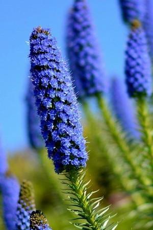 Blue Blossom Flowers