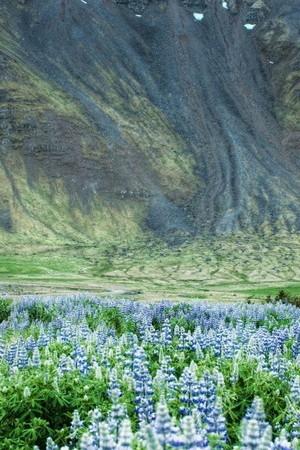 Lupin Flower Field
