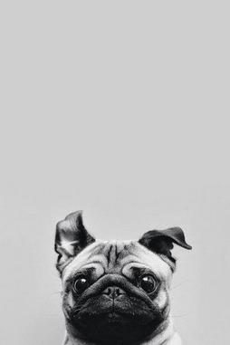 Pug comel