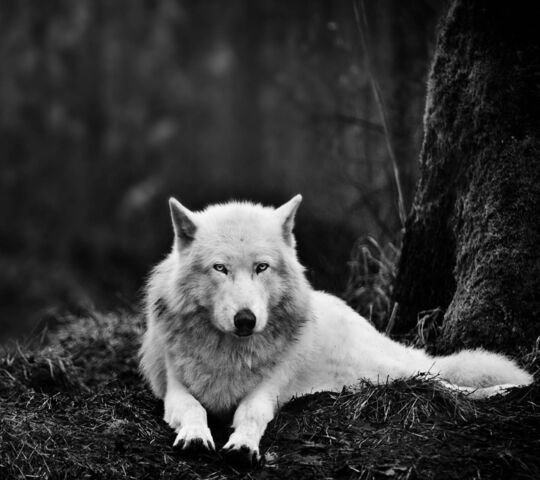 Loup Blanc Fond D écran Télécharger Sur Votre Mobile Depuis Phoneky