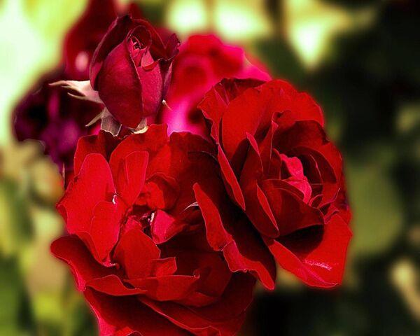 وردة حمراء جميلة الخلفية تحميل إلى هاتفك النقال من Phoneky