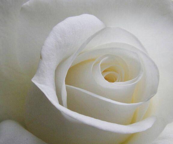 وردة بيضاء الخلفية تحميل إلى هاتفك النقال من Phoneky