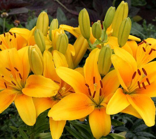 foto de Lys jaunes Fond d'écran - Télécharger sur votre mobile depuis PHONEKY