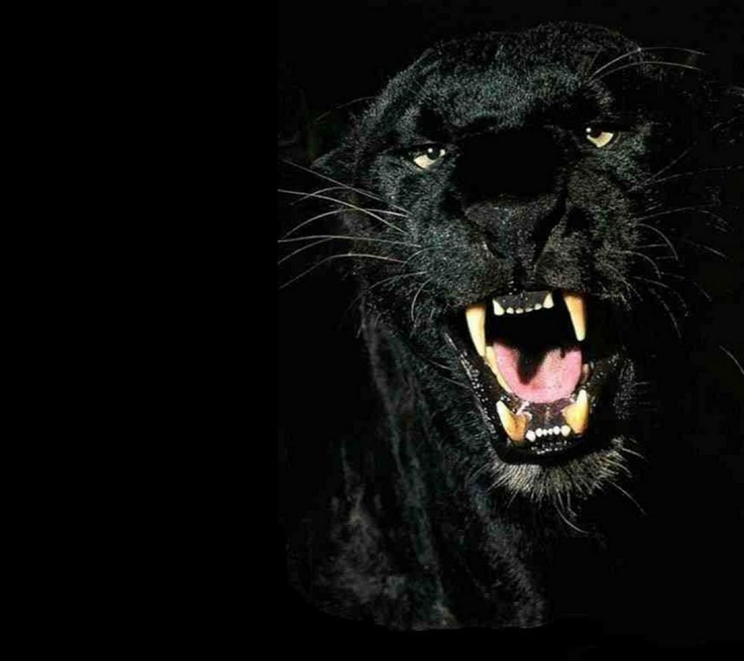Panthere Noire Fond D Ecran Telecharger Sur Votre Mobile Depuis Phoneky