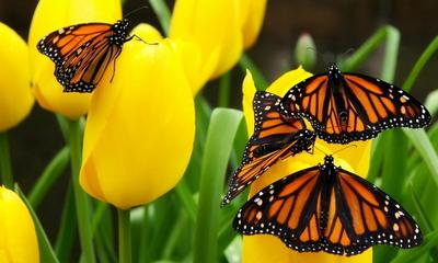Butterflies Oon Flower