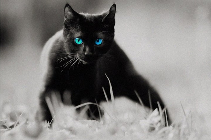 Black Cat Blue Eyes Wallpaper Download To Your Mobile From Phoneky