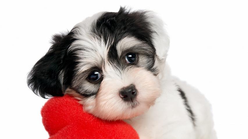 Sfondo Bianco Cuore Di Cane Sfondo Scarica Sul Tuo Cellulare Da