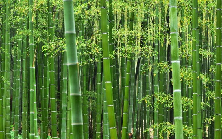 「Gambar pokok buluh」的圖片搜尋結果