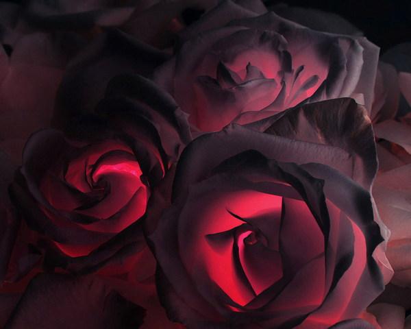 Rose Nere Sfondo Scarica Sul Tuo Cellulare Da Phoneky