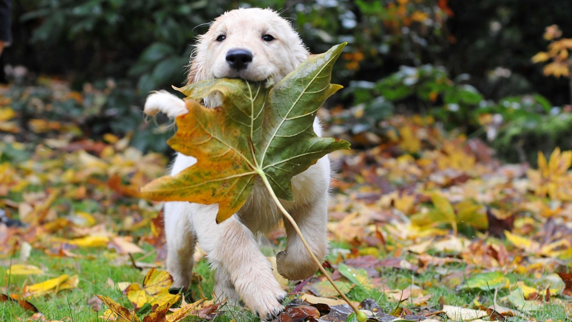 かえでをくわえるかわいい子犬