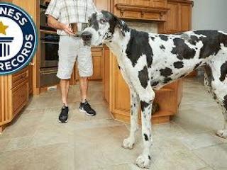 Tallest female dog