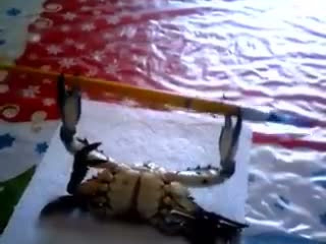 If this crab can do it then what's your excuse?