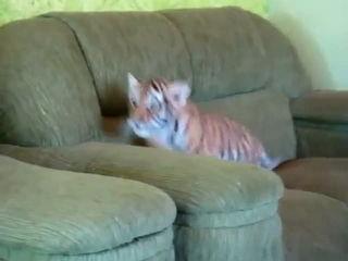 Adorable Baby Tiger