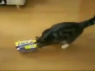 box lover cat