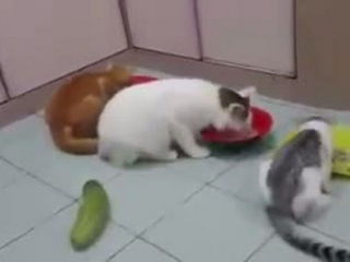 Funny Cat And Cucumber