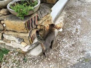 Cat abducts tiger